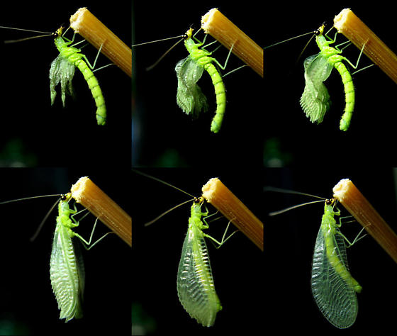 Green Lacewing life cycle - Chrysopa oculata