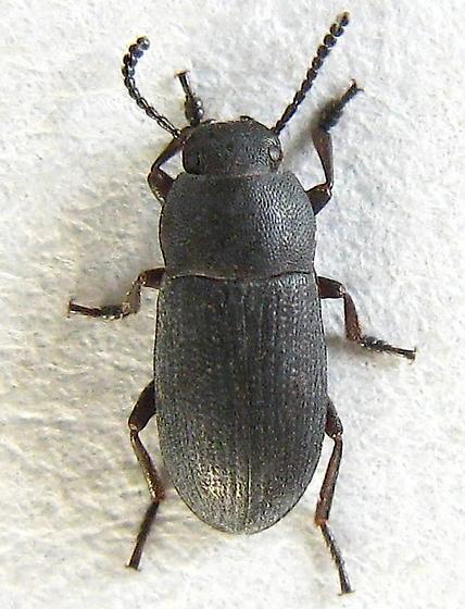 Small Darkling Beetle - Blapstinus substriatus