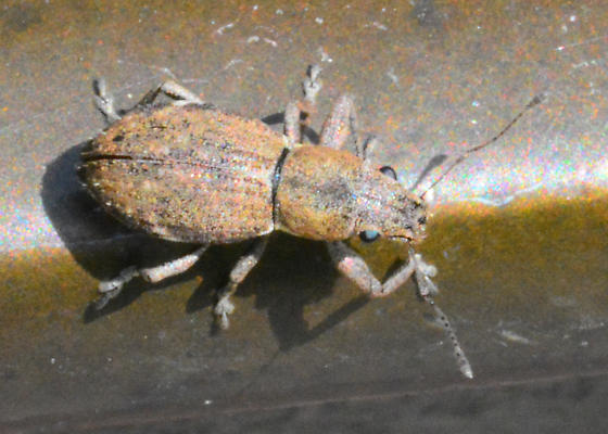 Drinking fountain weevil  - Naupactus cervinus