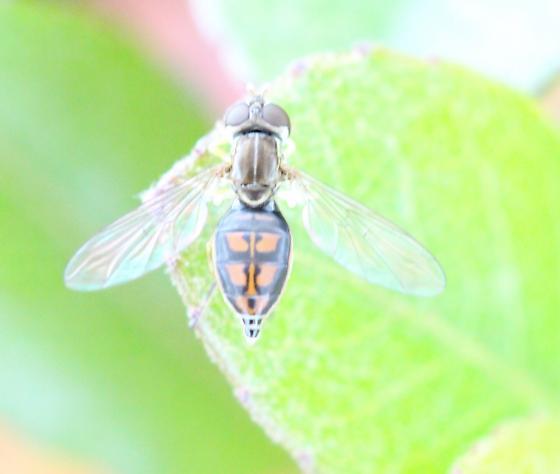 Syrphid fly - unknown genus  - Toxomerus marginatus