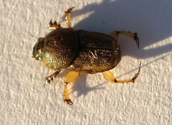 Small scarabaeidae on cowdung - Euoniticellus intermedius - female