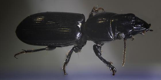 Digger Slope-rumped Beetle (Clivina fossor) Linnaeus, 1758 - Scarites
