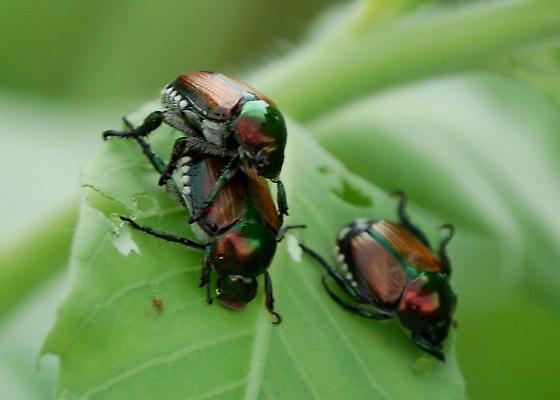 Japanese Beetle? Infestation - Popillia japonica - male - female