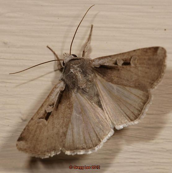 Moth Genus Euxoa?  No.it's    - Hemieuxoa rudens