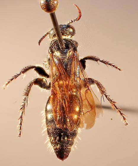 Large dark bee
