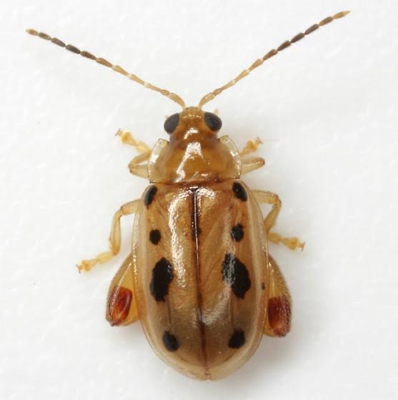 Capraita nigrosignata (Schaeffer) - Capraita nigrosignata