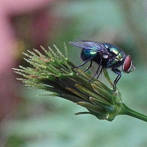 Calliphoridae (Blow Flies)  - Lucilia - male