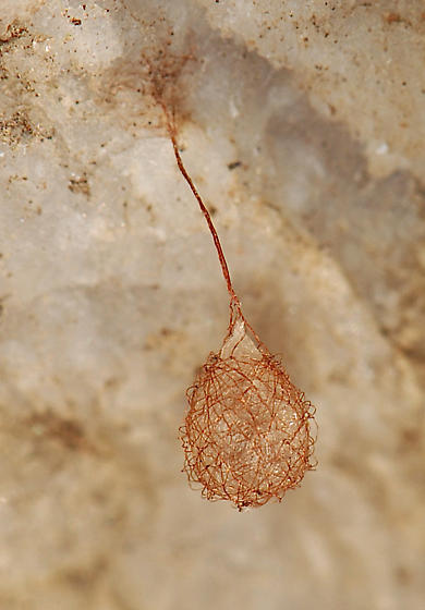Mimetidae (Pirate spiders) egg sac - Ero