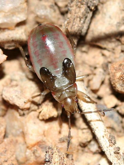 True bug - Melacoryphus