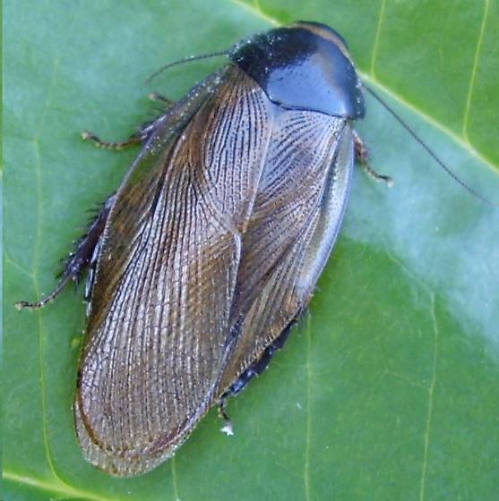 cockroach - Pycnoscelus surinamensis