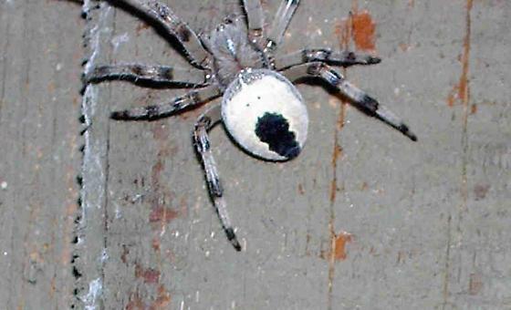 Unknown Spider Alaska - Araneus marmoreus