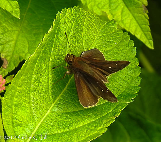 Grass Skipper - Dark - seen in Washington DC - Lerema accius