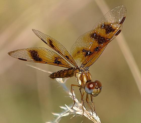 Female Eastern Amberwing? - Perithemis tenera - female