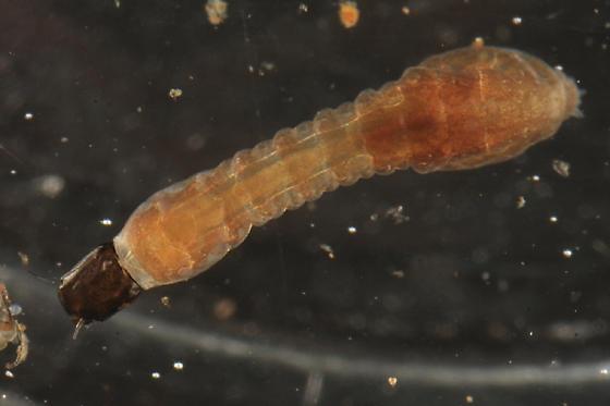 Black Fly larva - Prosimulium