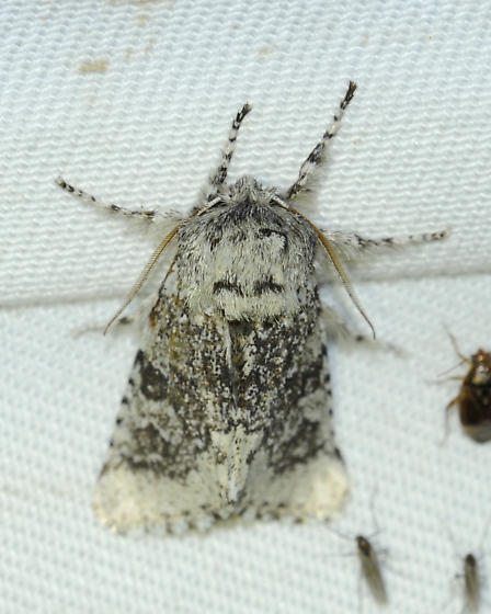 ? Prominent moth - Feralia major
