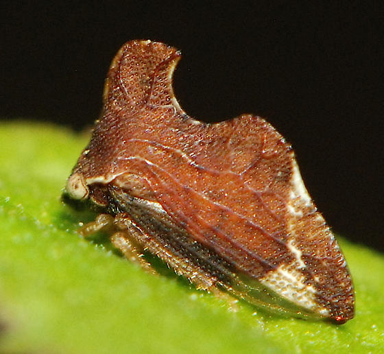 unknown hopper - Entylia carinata