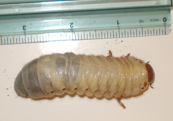 Big beetle grub - dorsal - Strategus aloeus