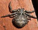 Crab spider - Bassaniana utahensis - female