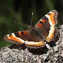 Nymphalidae: Aglais milberti - Aglais milberti