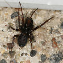 another linyphiid? - Steatoda borealis - male