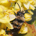 Cuckoo Bumble Bee? - Melecta