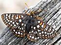 Metalmark ?? - Euphydryas anicia--c - female