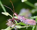 Sinea spinipes - Spiny Assassin Bug? - Sinea