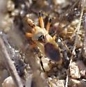 orange and black bug - Rhynocoris ventralis