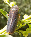 Speckled Sharpshooter? - Paraulacizes irrorata