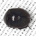 Small Beetle - Germarostes
