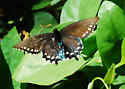 Pipevine Swallowtail on its host plant - Battus philenor