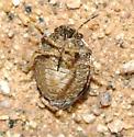 scutelerid - Homaemus proteus