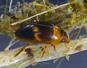 Suphisellus - Suphisellus puncticollis