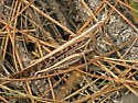 American bird grasshopper - Schistocerca americana - female