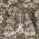 Impressed Dagger Moth - Acronicta impressa
