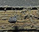 Female zosis genicutala in Sarasota, FL - Zosis geniculata