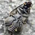 Well Tucked - Caryobruchus gleditsiae