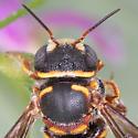 Anthidiellum resin bee - Anthidiellum notatum - male