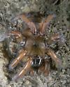 Trapdoor wandering  - Aptostichus stanfordianus - female