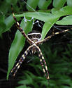 Help me ID this monster... - Argiope argentata - female
