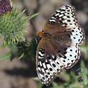Nokomis Fritillary F - Speyeria cybele - female
