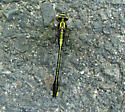 Skillet Clubtail - Gomphurus ventricosus - female