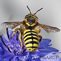 Carder Bee - Anthidium - female