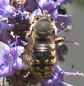 Stalker Bee - Anthidium manicatum