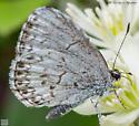 Lepidoptera. - Celastrina lucia
