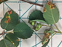 Leaves with galls