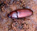 Beetle - Uloma punctulata