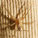 Spider 15 - Pisaurina