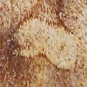 Noctuidae: Enargia - Enargia