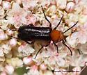 Beetle - Nemognatha nigripennis